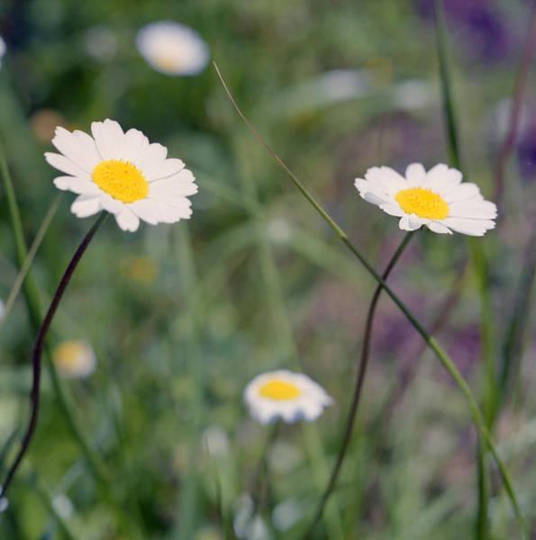 Photograph - Anthemis Abrotanifolia Or Chamomile by Paul Cowan