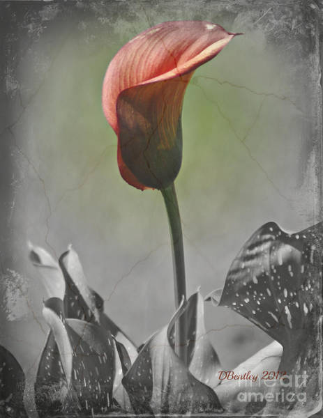 Photograph - Antique Calla Lily by Donna Bentley