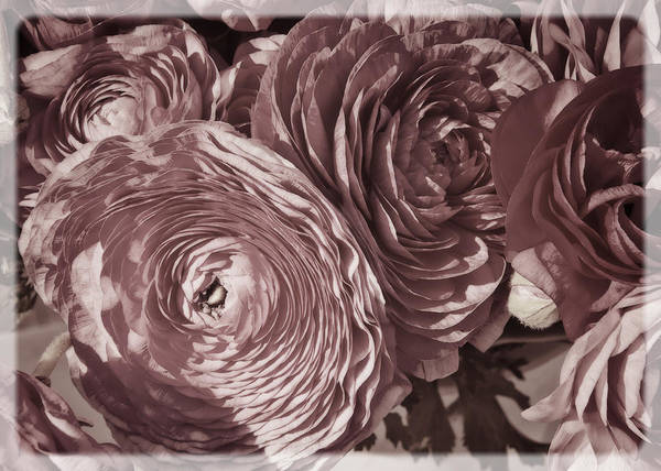 Photograph - Antique Pink Ranunculus by Joan Carroll