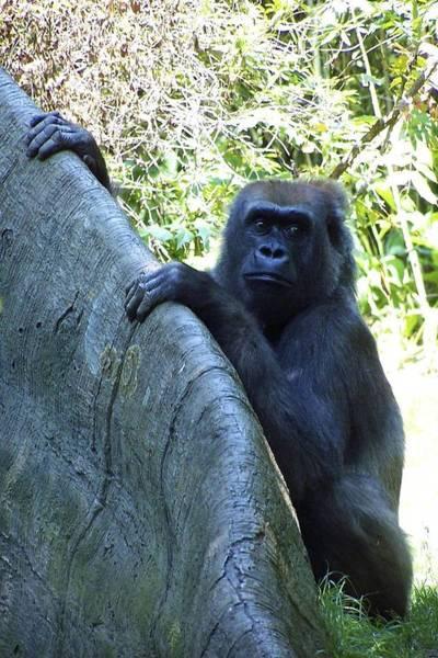 Photograph - Ape by Ralph Jones
