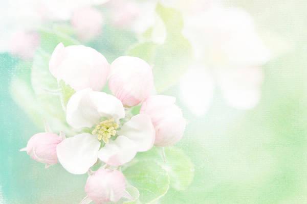 Apple Blossom Photograph - Apple Blossom Pink by Sharon Johnstone