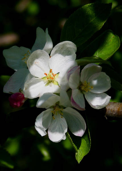 Apple Blossoms2 Art Print