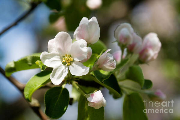 Wall Art - Photograph - Apple Tree Flowers by Kati Finell