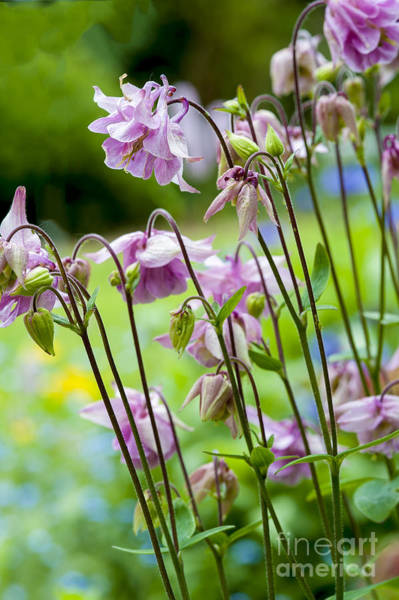 Wall Art - Photograph - Aquilegia In Spring Flowers by Donald Davis