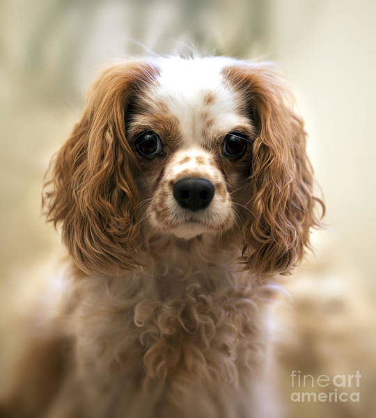 Sweet Puppy Photograph - Archie Portrait by Jane Rix