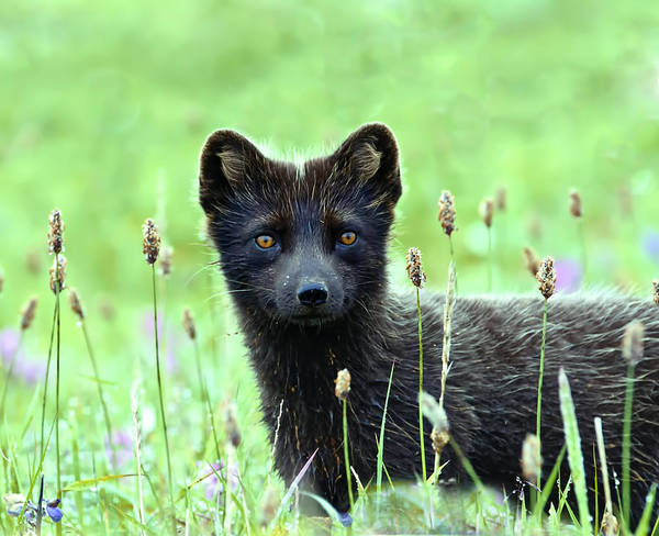 Blye Photograph - Arctic Fox by Kenneth Blye