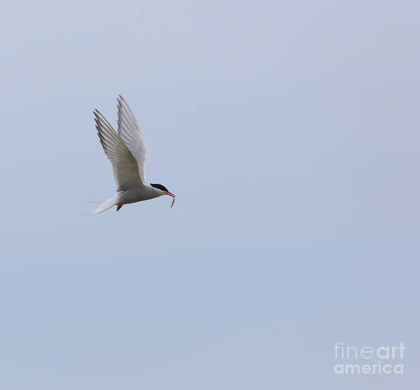 Wall Art - Photograph - Arctic Tern by Louise Heusinkveld