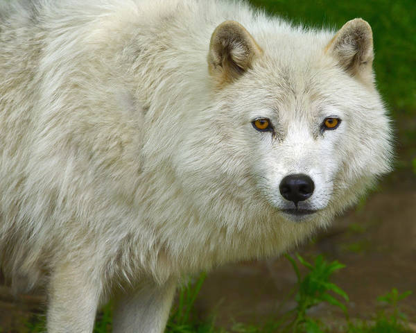 Arctic Wolves Photograph - Arctic Wolf by Tony Beck