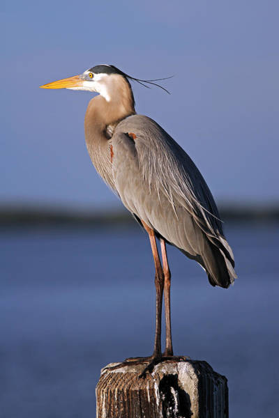 Photograph - Ardea Herodias by Juergen Roth
