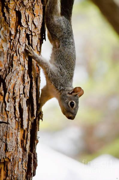 Photograph - Arizona Grey Squirrel by Donna Greene
