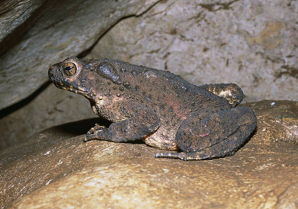 Asps Photograph - Asian Giant Toad by Dr George Beccaloni