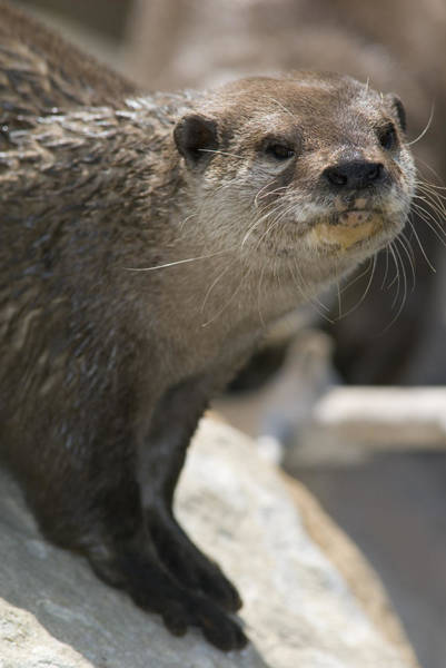 Aonyx Cinerea Photograph - Asian Smalled-clawed Otter Aonyx by Rich Reid