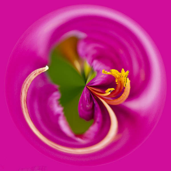 Photograph - Asiatic Lily Orb by Bill Barber