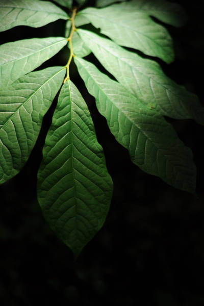Photograph - Asimina Triloba Foliage by Rebecca Sherman