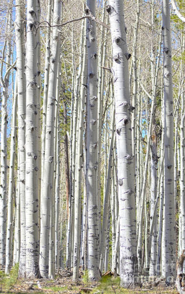 Photograph - Aspen Grove by Donna Greene
