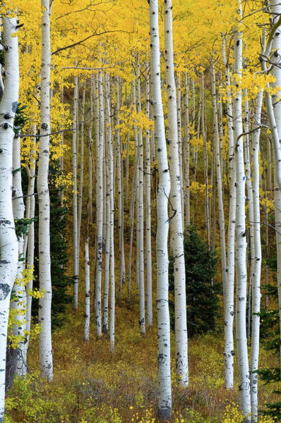Photograph - Aspen Trunks by Steve Stuller