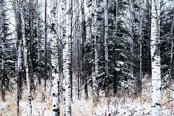 Photograph - Aspens And Conifers by Larry Ricker