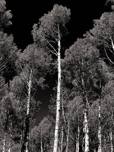 Photograph - Aspens In Black And White by Joshua House