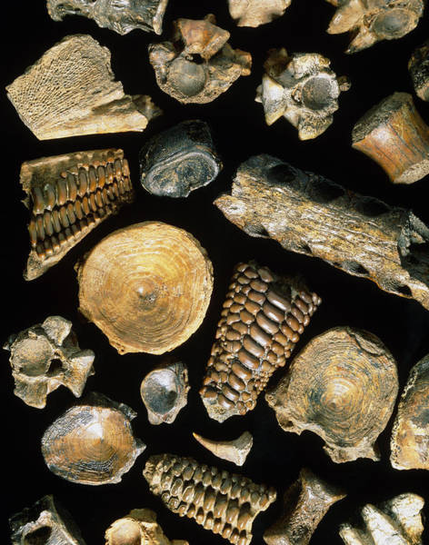 Bowfin Photograph - Assortment Of Fish Fossils From The Paleocene by Sinclair Stammers