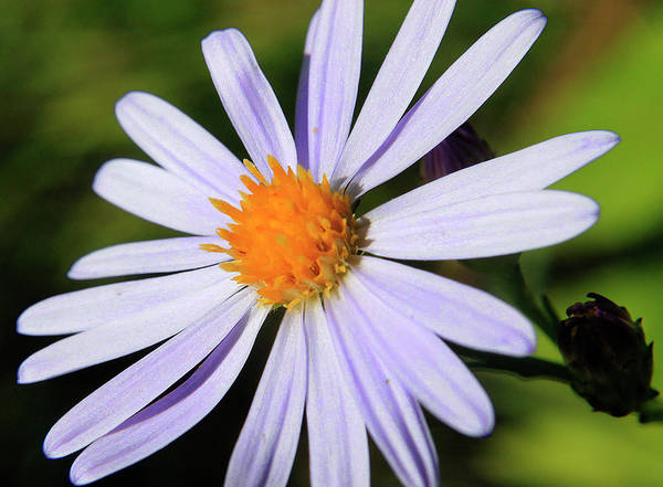 Photograph - Aster  by Scott Hovind