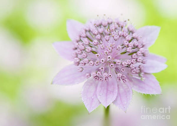 Astrantia Photograph - Astrantia Larch Cottage by Jacky Parker