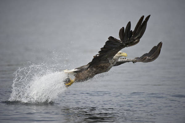 Eagle In Flight Photograph - At Full Stretch by Andy Astbury