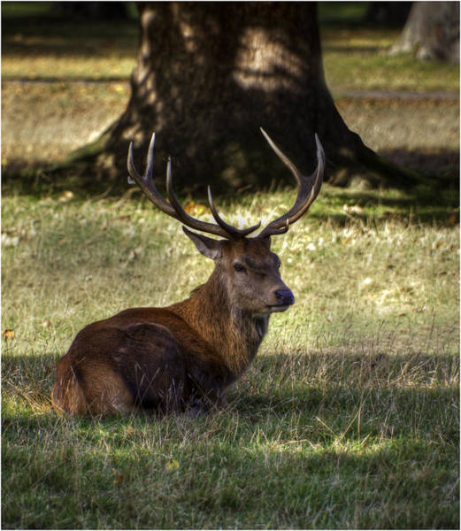 Red Deer Photograph - At Rest by Nigel Jones