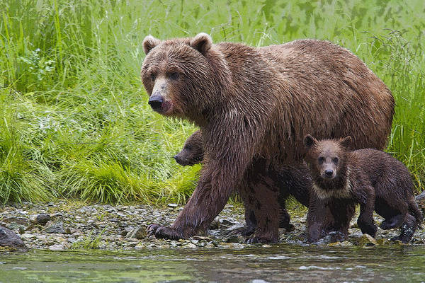 Grizzly Bears Digital Art - At The Salmon Stream- Abstract by Tim Grams