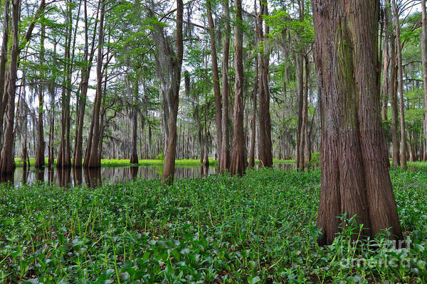 Wall Art - Photograph - Atchafalaya Swamp by Louise Heusinkveld