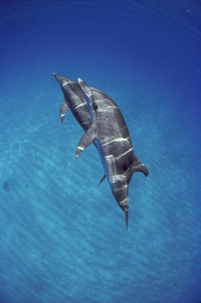 Photograph - Atlantic Spotted Dolphin Pair Bahamas by Flip Nicklin