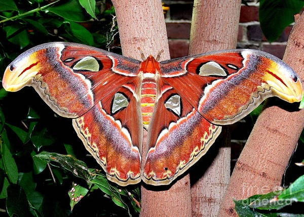 Wall Art - Photograph - Atlas Moth by Kevin Fortier