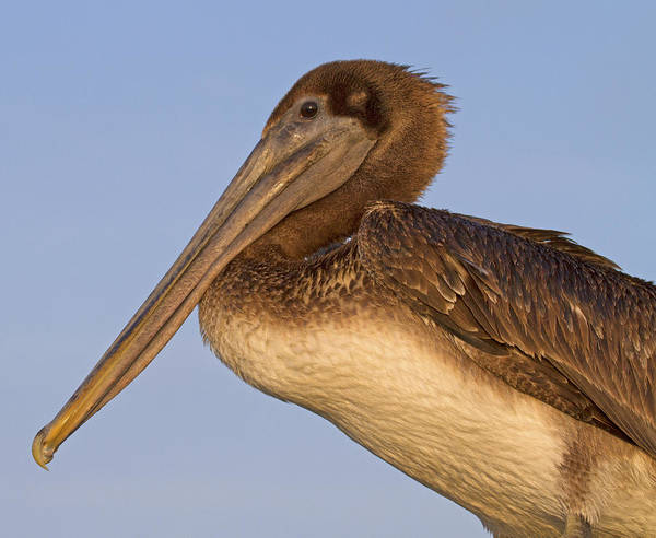 Brown Pelicans Photograph - Augustine Brown by Betsy Knapp
