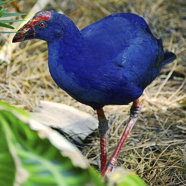 Photograph - Australian Swamp Hen by Donna Proctor