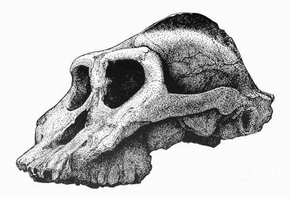 Wall Art - Photograph - Australopithecus Boisei by Granger