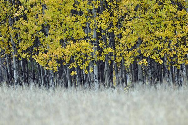 Photograph - Autumn Aspen Grove Near Glacier National Park by Bruce Gourley