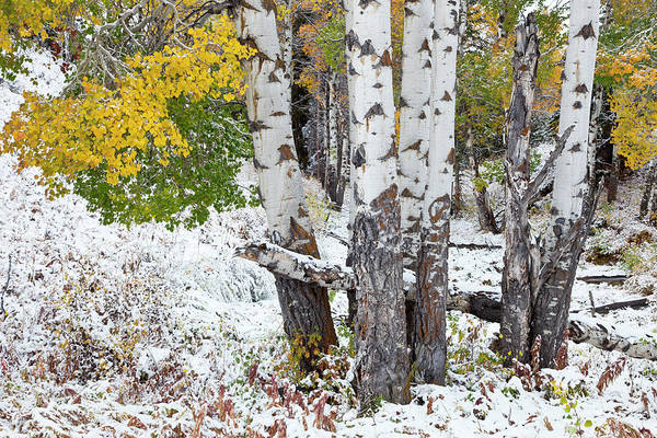 Photograph - Autumn Aspens And Snow by D Robert Franz