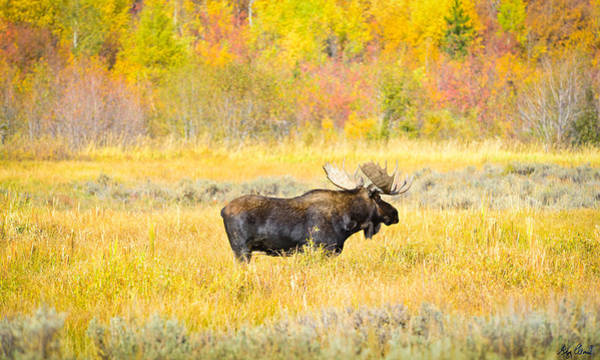 Photograph - Autumn Bull Limited Edition by Greg Norrell