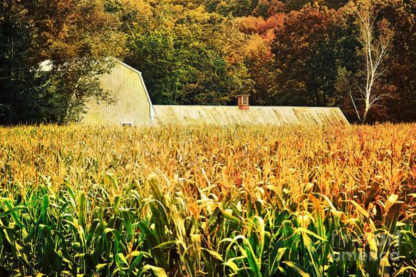 Cornfield Photograph - autumn cornfield in Granville MA by HD Connelly