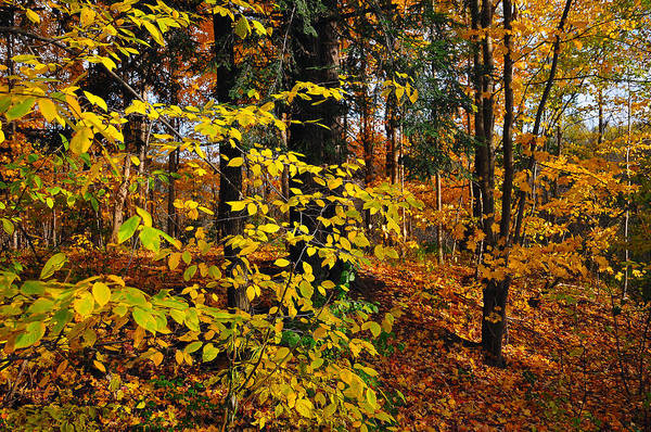Photograph - Autumn In Forest  by Dragan Kudjerski