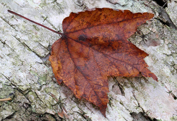 Photograph - Autumn Leaf by Juergen Roth
