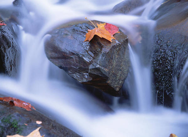 Photograph - Autumn Leaf On Boulder, Little River by Tim Fitzharris