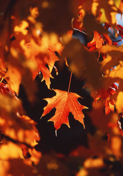 Acer Saccharum Photograph - Autumn Leaves by David Nunuk