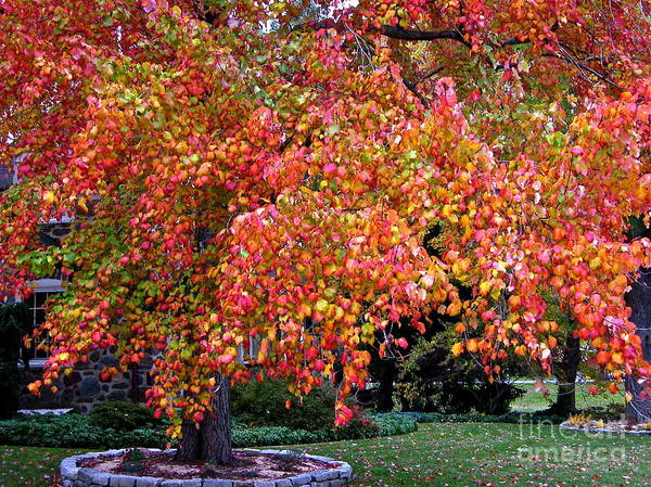 Photograph - Autumn Maple by Byron Varvarigos