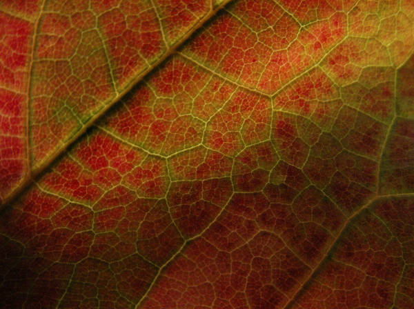 Photograph - Autumn Maple Leaf by Nancy Griswold