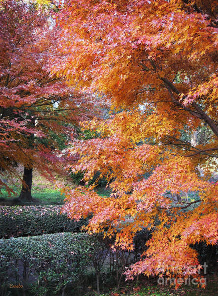 Photograph - Autumn Momiji by Eena Bo