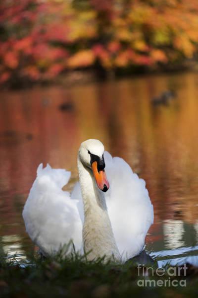 Photograph - Autumn Swan by Leslie Leda