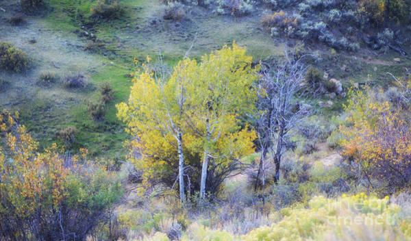 Photograph - Autumn Wyoming Aspens by Donna Greene