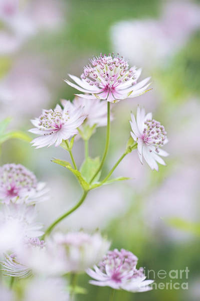 Astrantia Photograph - Awakening by Jacky Parker