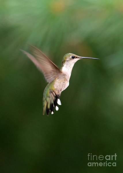 Photograph - Awesome Hummingbird by Sabrina L Ryan