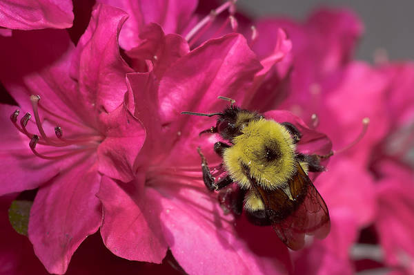 Photograph - Azalea Bee by Lori Coleman